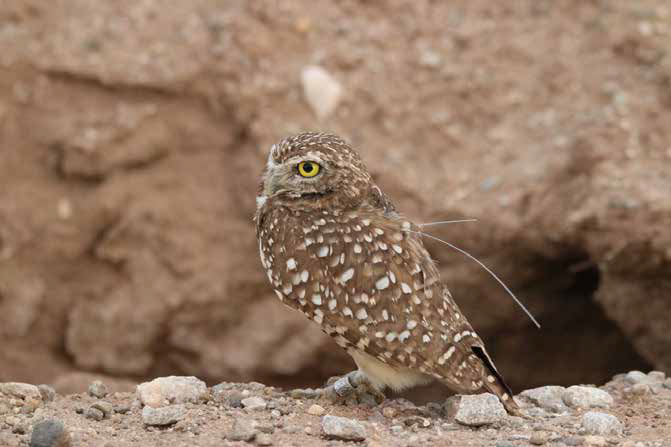 Burrowing Owl with a GPS Transmitter for Tracking
