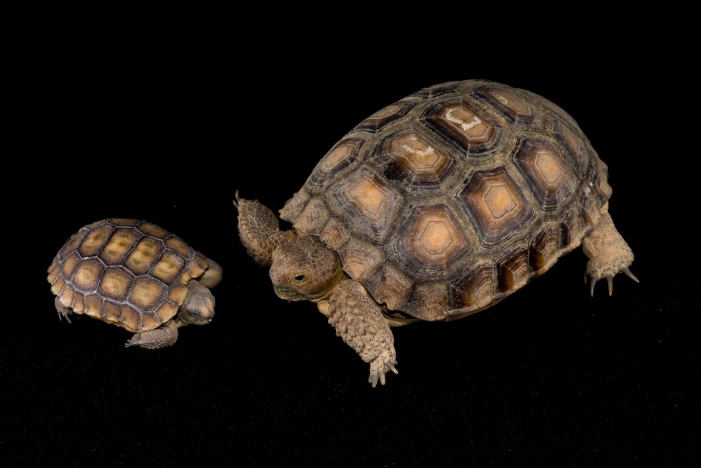 Size comparison of one day old tortoise (on left) with one year old, indoor reared tortoise (on right)